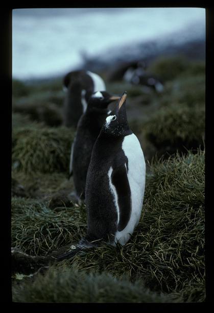 Gentoo Penguin 01 [orig]