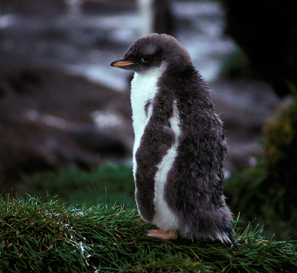 Gentoo Penguin chiick a_1