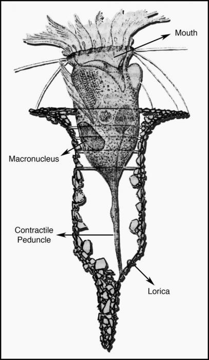 Tintinnopsis campanula by Fauré Fremiet