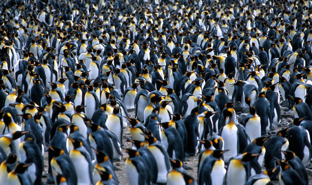 King Penguin colony 2_1