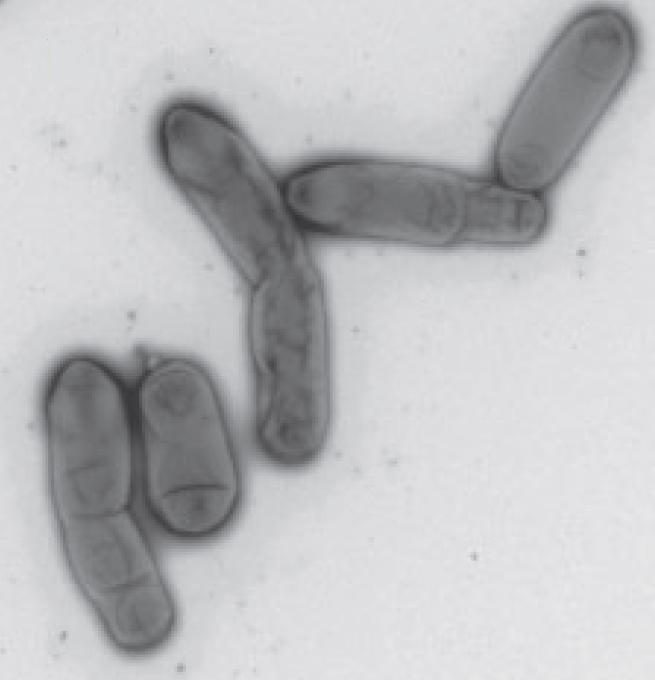 Methyloceanibacter stevinii