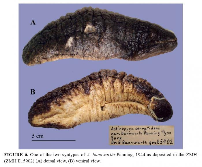 Actinopyga caerulea