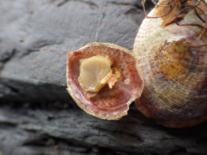slipper limpet (Crepidula fornicata)