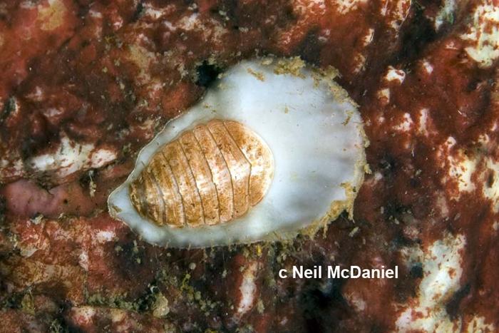 Placiphorella rufa