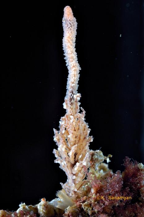 Candelabrum phrygium from Kamchatka