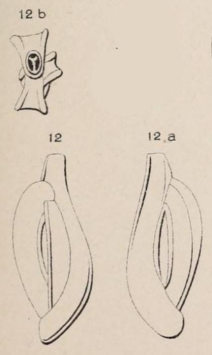 Quinqueloculina angularis d'Orbigny in Fornasini, 1905