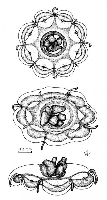 Csiromedusa medeopolis from Gershwin & Zeidler (2010)