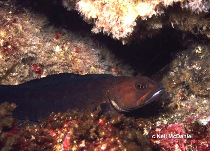 Bathymaster caeruleofasciatus