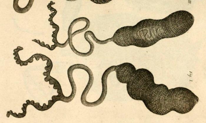 Bonellia viridis original plate by Rolando, 1822