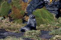 Ant Fur Seal subadult male