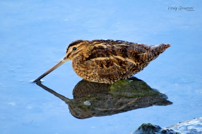 Common snipe (Gallinago gallinago).