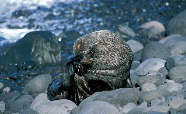 Antarctic Fur Seal grooming