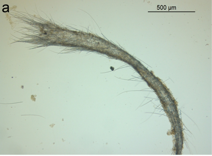 Leucosolenia salpinx Van Soest, 2017