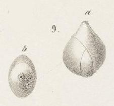 Globulina inaequalis Reuss, 1850