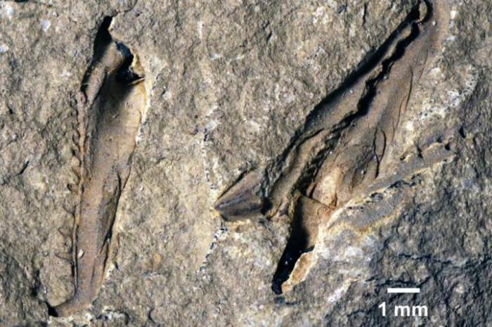 Holotype fossil of Websteroprion armstrongi