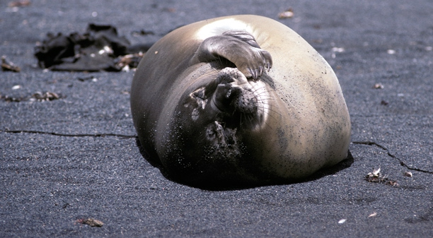 Elephant Seal on beach