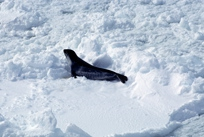 Ross Seal on floe