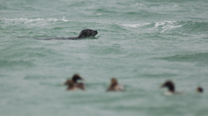 Seal & Eider