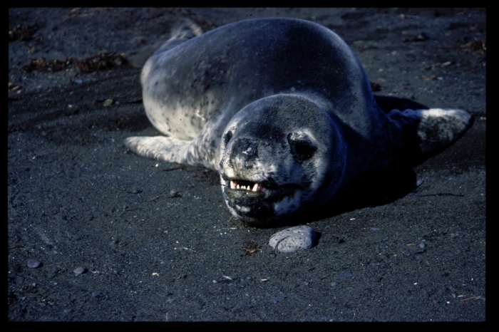 leopard seal