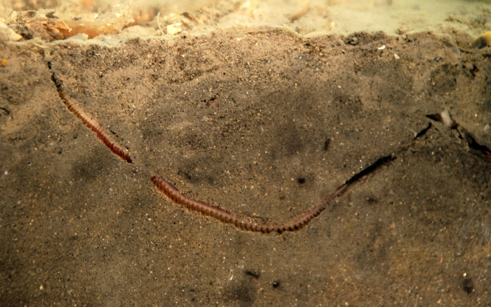 Nephtys sp. (polychaeta)