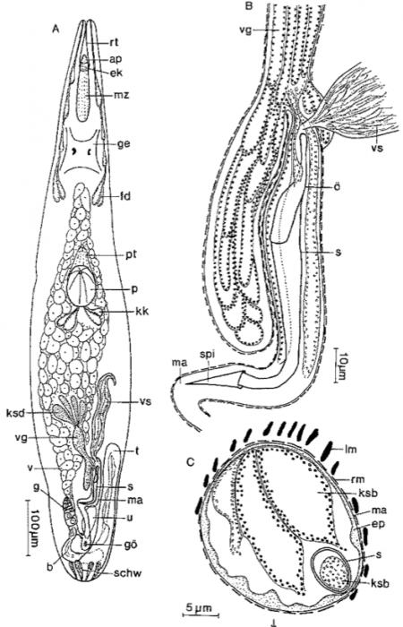 Limipolycystis curvitubo