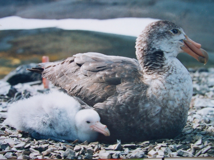 Southern Giant Petrel &amp; chick
