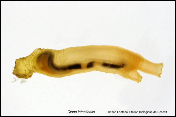 ciona intestinalis