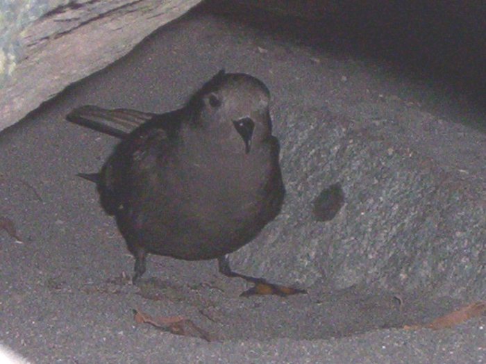 Wilson's Storm Petrel at nest