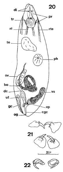 O. aculeatus