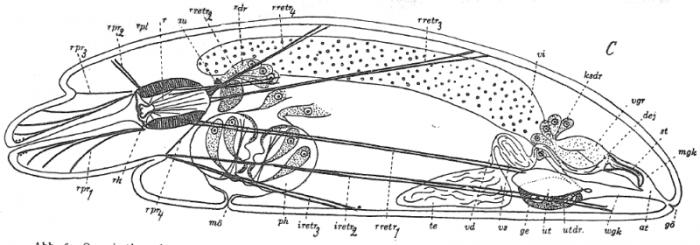 P. campylostylus