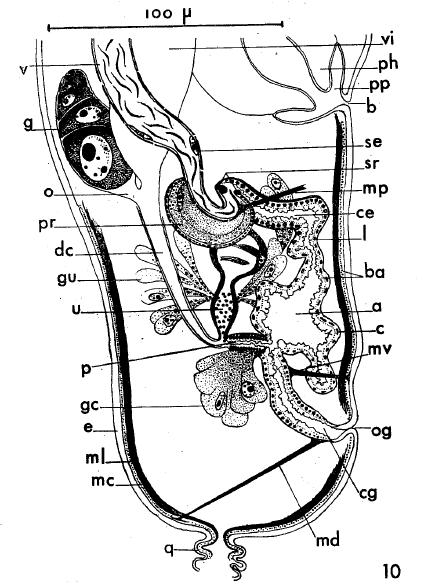 A. ischnurus