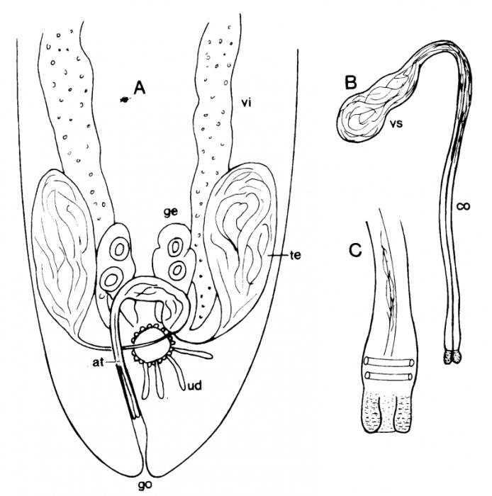 C. paradoxa