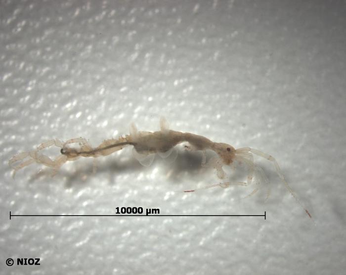 Caprella linearis (Linnaeus, 1767)