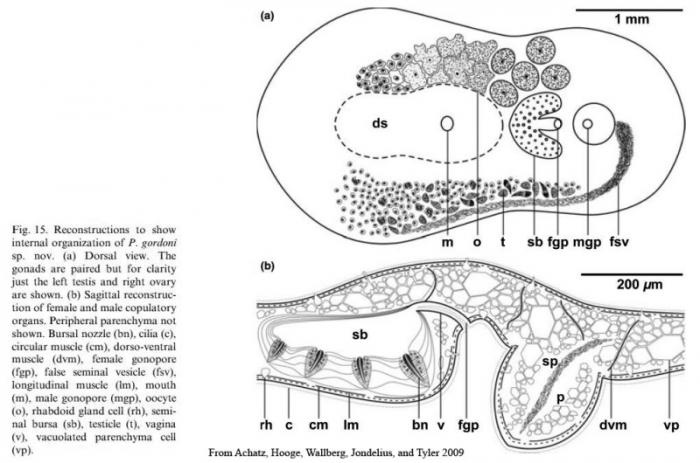 Polychoerus gordoni