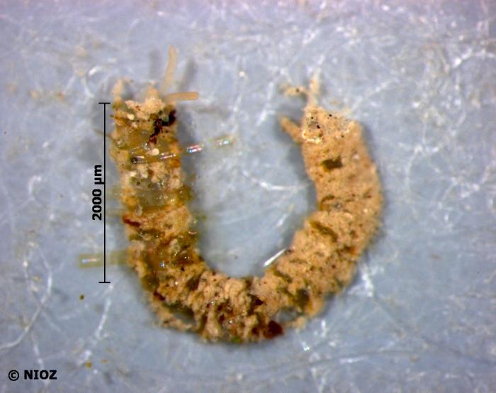 cf. Pygospio elegans Claparède, 1863