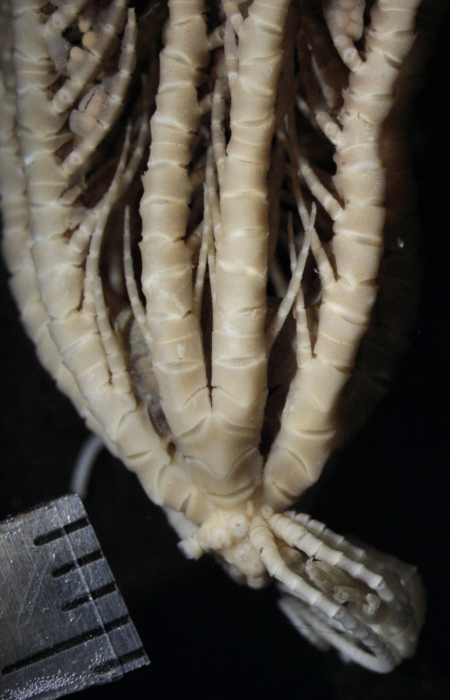 Isometra graminea John, 1938, COTYPES BMNH 1938.12.7.155-157