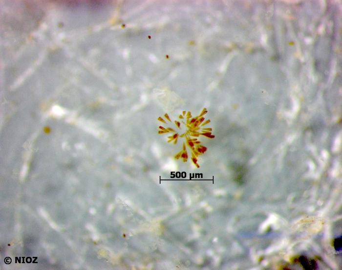 Licmophora sp.  C.A. Agardh, 1827 nom. cons.