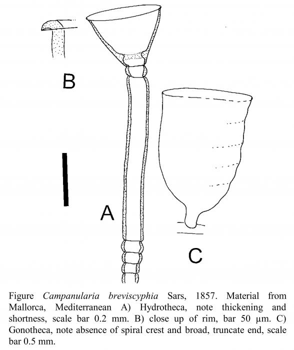 Campanularia breviscyphia Sars, 1857