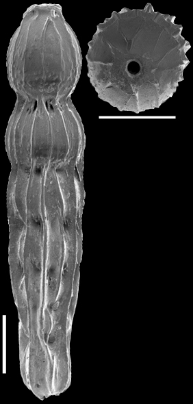 Strictocostella modesta (Bermudez, 1937) Identified specimen