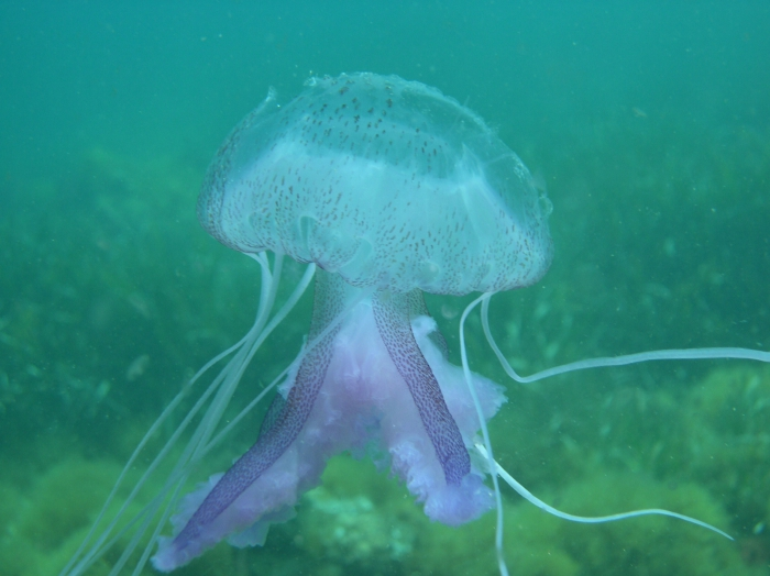 Pelagia noctiluca