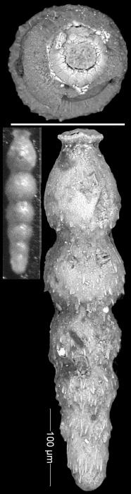 Siphonodosaria fragilis Todd, 1953 Holotype