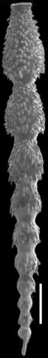 Strictocostella strongi Hayward, 2012 Paratype