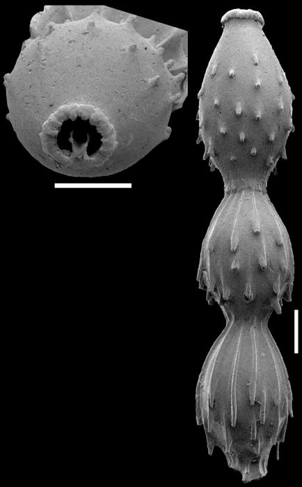 Toddostomella chileana (Todd & Knicker, 1952) Identified specimen
