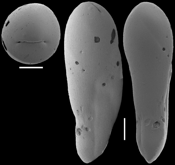 Ellipsoidella dacica (Neagu, 1968) Identified specimen
