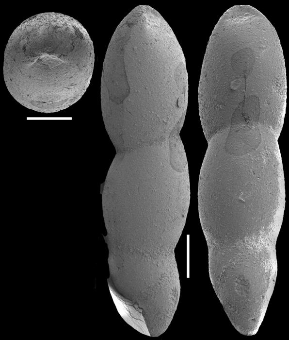 Pleurostomella nuttalli Cushman & Seigfus, 1939. Identified specimen