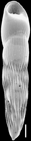 Pleurostomella sapperi Schubert, 1911. Identified specimen.