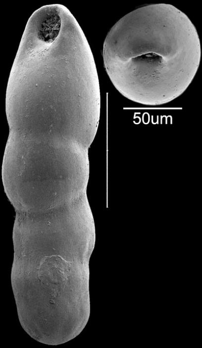 Pleurostomella subnodosa (Reuss, 1851) Identified specimen