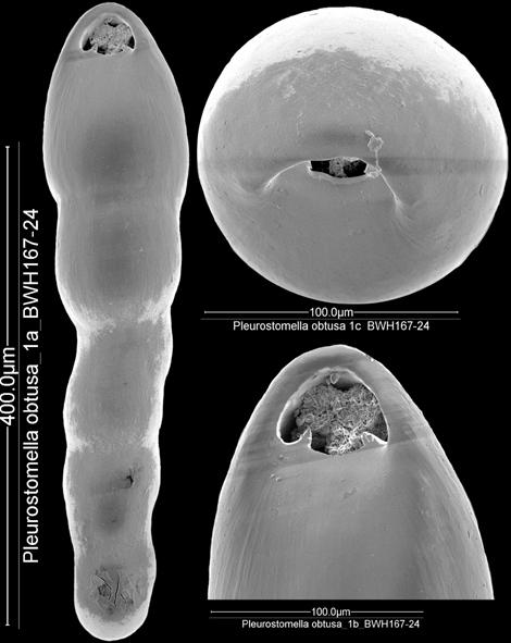Pleurostomella subnodosa (Reuss, 1851). Identified specimen