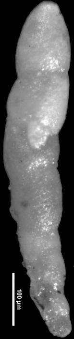 Nodosarella cuneata Loeblich & Tappan, 1946 Holotype