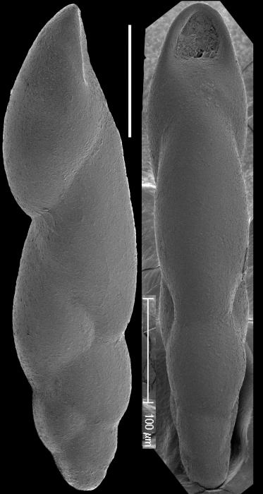 Pleurostomella tenuis Hantken, 1883. Identified specimen